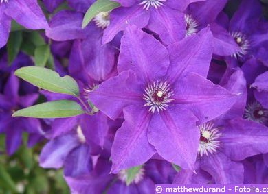 Clematis Waldrebe