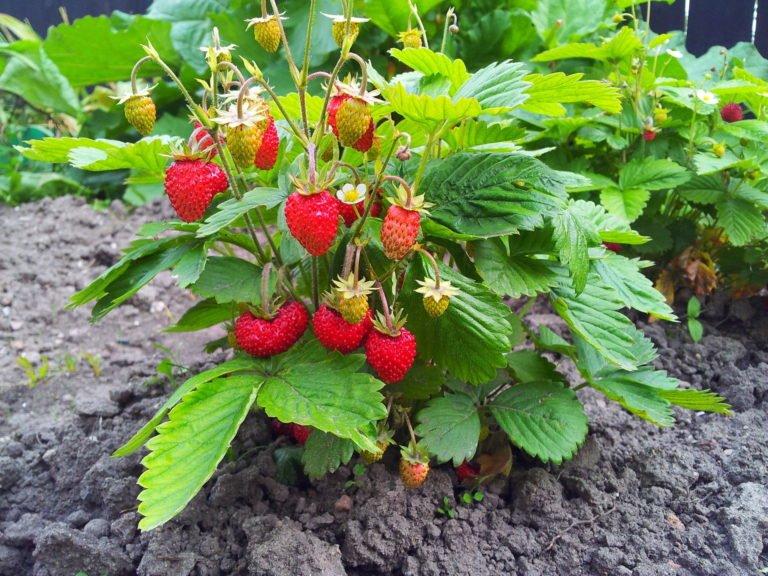 Fabelhaft Pflege von Erdbeeren, von der Pflanzung übers Düngen bis zur Ernte #UZ_59
