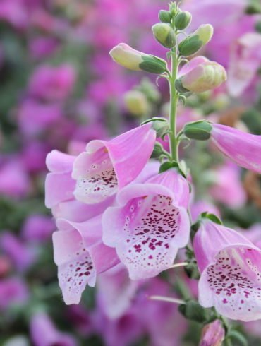 Fingerhut Digitalis