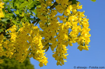 Goldregen Laburnum