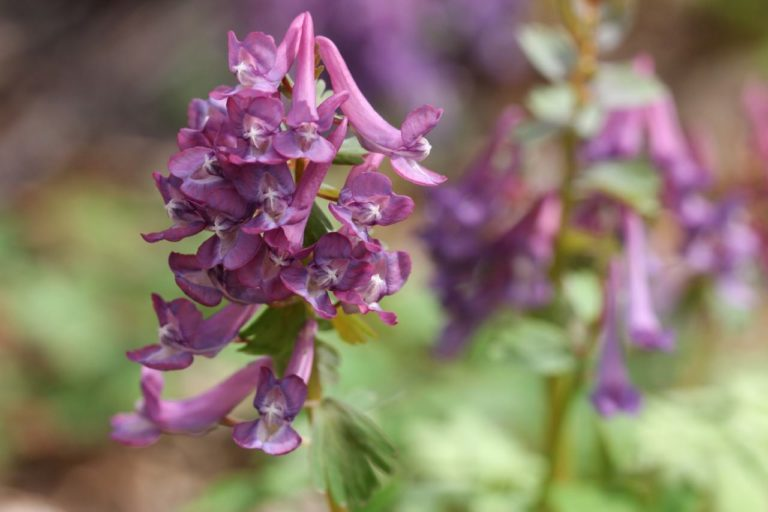 Lerchensporn Corydalis