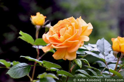 Rosenpflanze Orange